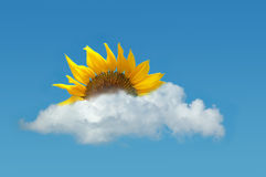 Sunflower on the blue sky. Sunflower as the sun appearing from behind the cloud on the blue sky Royalty Free Stock Image