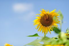 A sunflower. With the blue sky Stock Images