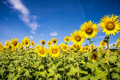 Sunflower with blue sky. A Sunflower with blue sky Royalty Free Stock Images
