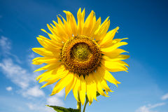 Sunflower with blue sky. A Sunflower with blue sky Royalty Free Stock Photography