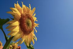 Sunflower with blue sky Stock Images