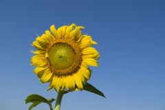 Sunflower with blue sky. Sunflower with blue sky background Stock Images