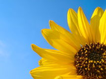 Sunflower and Blue Sky Background. A sunflower shines in the Summer with clear, blue sky as a background.  There is plenty of copy space in this image Royalty Free Stock Photography