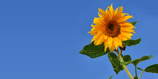 Sunflower against blue sky. Sunflower on a blue sky background Royalty Free Stock Images