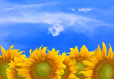 Sunflower. On blue sky background Royalty Free Stock Images