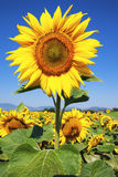 Sunflower and blue sky Stock Image