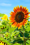 Sunflower with blue sky Stock Photos