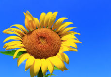 Sunflower on Blue sky. Sunflower with blue sky background Stock Photography