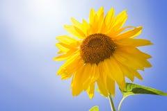 Sunflower on blue sky Royalty Free Stock Photo