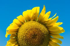 Sunflower and blue sky. Background Royalty Free Stock Images