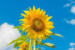 Sunflower on blue sky. Background royalty free stock photography