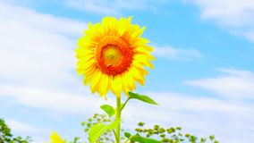Sunflower with blue sky background royalty free stock photos