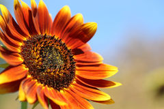 Sunflower with blue sky background. Close-up Royalty Free Stock Photo