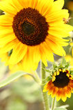 Sunflower with blue sky background. stock photo