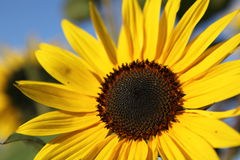 Sunflower with blue sky background. stock photos