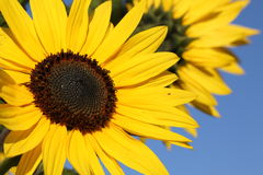 Sunflower with blue sky background. royalty free stock image