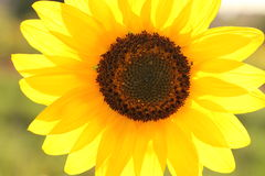 Sunflower with blue sky background. stock photography
