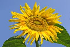 Sunflower on a blue sky background. Closeup Stock Photo