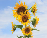 Sunflower on blue sky background. Group of Sunflowers on blue and clear sky background Royalty Free Stock Photo