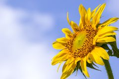 Sunflower on blue sky background. Sunflower in the hot sunlight on blue sky background. Suitable for backgrounds, articles about nature stock photo