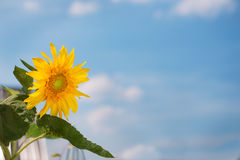 Sunflower and blue sky background. Little yellow sunflower and blue sky background royalty free stock photo