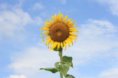 Sunflower on blue sky background. Single Sunflower on blue and clear sky background Royalty Free Stock Photos