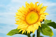 Sunflower on blue sky background. Sunflowers have abundant health benefits. Sunflower oil improves skin health and promote cell. The Sunflower on blue sky stock images