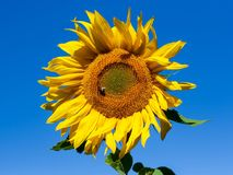 Sunflower on blue sky background. Royalty Free Stock Photos