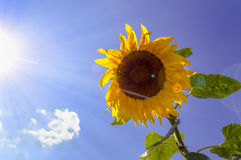 Sunflower with blue sky background Royalty Free Stock Image