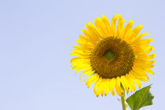 Sunflower with blue sky Stock Image