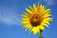 Sunflower and blue sky. Royalty Free Stock Photos