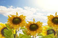 Sunflower with blue sky and beautiful sun. Sunflower with blue sky and beautiful sun Royalty Free Stock Image