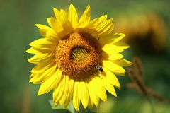 Sunflower with blue sky and beautiful sun Stock Images