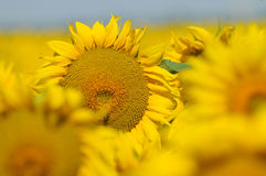 Sunflower with blue sky Royalty Free Stock Image