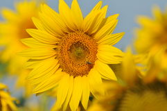 Sunflower with blue sky Stock Photography