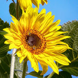 Sunflower on blue sky Royalty Free Stock Image
