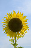 Sunflower with blue sky Royalty Free Stock Images