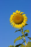 Sunflower on blue sky. The bright colors of summ Royalty Free Stock Photos
