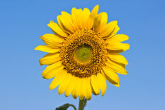 Sunflower on blue sky. The bright colors of summ Royalty Free Stock Photography