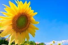 Sunflower with blue sky stock photos