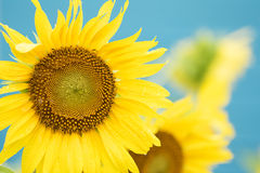 Sunflower in blue sky Stock Photo