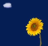Sunflower blue sky and cloud. Yellow sunflower on blue sky with white cloud Royalty Free Stock Photos