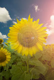 Sunflower and the blue sky. With clouds and flare Stock Image