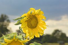 Sunflower with blue sky and clouds. Summer background, bright yellow sunflower over blue sky Royalty Free Stock Images