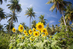 Sunflower. With blue sky and Cocos nucifera Royalty Free Stock Image