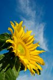 Sunflower and Blue Sky with Copy Space Royalty Free Stock Photos