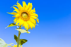 Sunflower on blue sky. With copy space Stock Photo