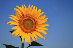 Sunflower with blue sky. Detail of sunflower with blue sky Stock Photo