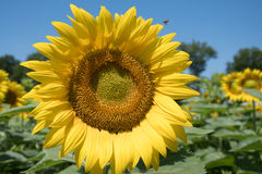 Sunflower and blue sky. Sunflower with blue sky in a farm field in rural Illinois, United States Stock Photo