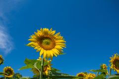 Sunflower and blue sky. Sunflower with blue sky in a farm field in rural Illinois, United States Royalty Free Stock Image